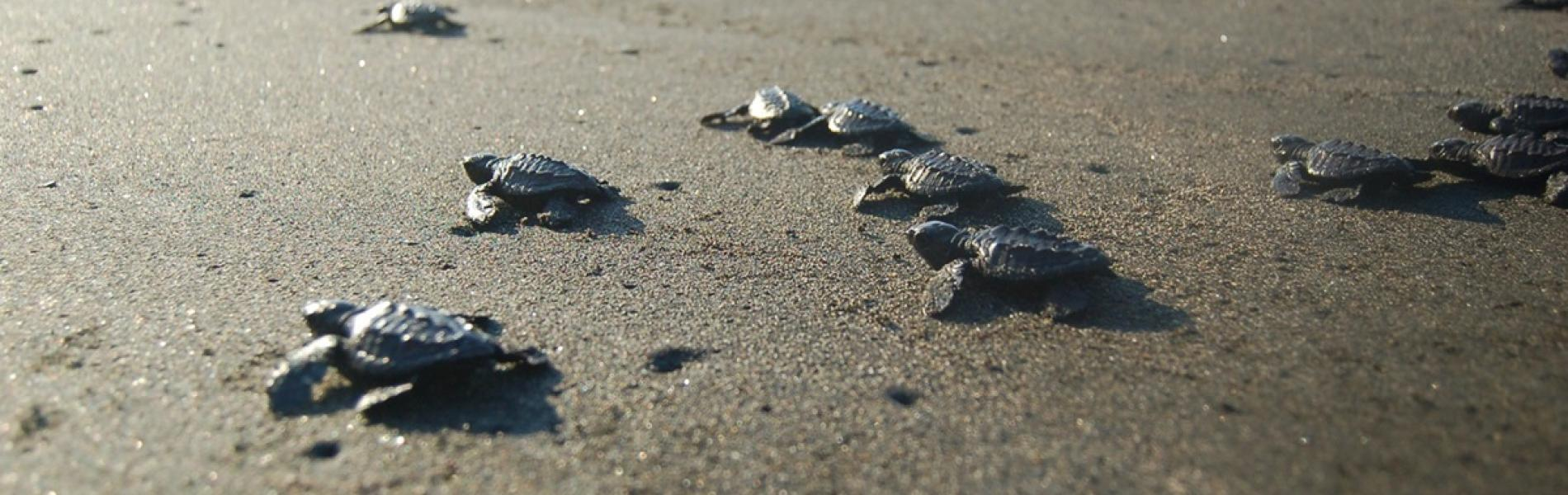 Baby sea turtles crawling across the sand towards the ocean